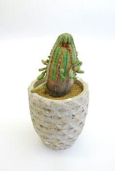 子吹きオベサ Euphorbia obesa f. prolifera