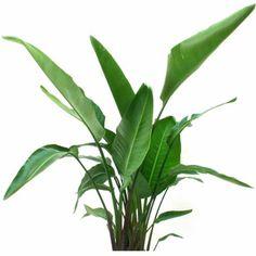 "Delray Plants White Bird of Paradise in 10"" Pot - Walmart.com"