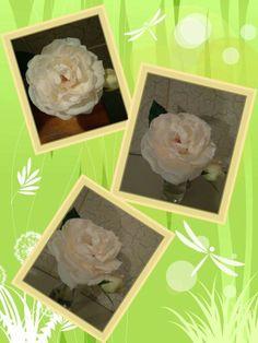 Rosa centifolia.