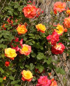 Joseph's Coat Climbing Rose- Very popular. Bounteous clusters with double flowers of ever-changing colorful hues. Glossy apple-green leaves. Blooms on new and old wood. Not hardy. Popular proven performer.