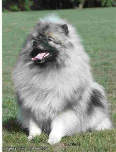 44 Best Keeshond Dog Love images | Dog love, Dog breeds, Dogs