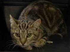 """POGO - A1042126 - - Manhattan   ***TO BE DESTROYED 07/06/15*** ANOTHER CHANCE FOR THIS PERFECTLY HEALTHY YOUNG TIGER BEAUTY WHO WILL DIE DUE TO HER FEAR – PLEASE GRANT POGO A DEATH ROW PARDON!!! """"Abandon all hope, ye who enter here"""" might as well be the new slogan for the ACC's Death Camp for Kitties, judging by the scared expression on poor POGO! This stunning three-year-old brown tiger and black beauty entered the scary shelter as a tiny STRAY weig"""