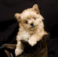The Pomapoo is a cute Pomeranian Poodle mix. This tiny dog will have a fluffy coat, loving temper and fun spirit. Check out the pros and cons of this pup. Yorkie Poodle, Poodle Mix, Siberian Husky Puppies, Husky Puppy, Siberian Huskies, Black Lab Puppies, Cute Dogs And Puppies, Corgi Puppies, Small Poodle