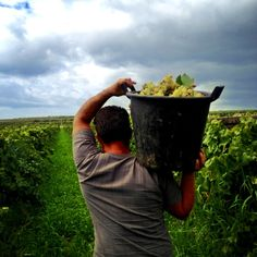 bringing it from the basket...#vendemmia2013 #contradacavarretto #grecanico #settesoli #vinobianco #harvest #sicily