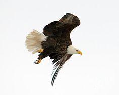 American Symbols, Photography Jobs, Birds Of Prey, Raptors, Bird Feathers, Beautiful Birds, Wonders Of The World, Wildlife, Creatures