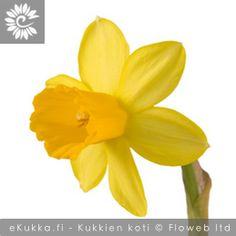 Keltanarsissi (Pääsiäislilja), Narcissus pseudonarcissus Gerbera, Plants, Plant, Planets