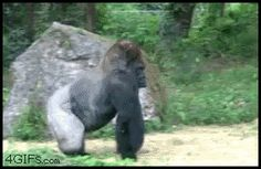 A gorilla who's tired of your nonsense: | 21 Things You've Never Seen Before In Your Life