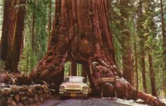 The Wawona Tree