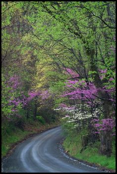 Springtime in Northern Virginia is highlighted by blooming Redbuds and flowering Dogwood trees.