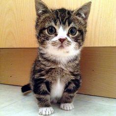 Elfie Gimli les chats d'abri nains