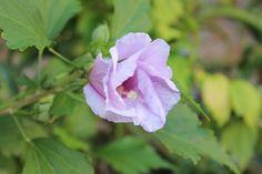 #flower #violet