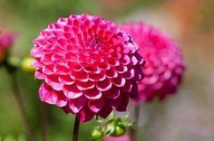 Esta vistosa y llamativa flor originaria de México y Colombia es una gran conocida de todo amante de la jardinería. Sirve tanto para cultivar en maceta como para formar parte de parterres y fronter…