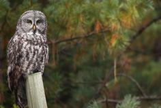Great Grey Owl (Strix nebulosa) by Kameron Perensovich Owl Photos, Owl Pictures, Strix Nebulosa, Great Grey Owl, Beautiful Owl, Birds Of Prey, Bird Feathers, Wildlife, Creatures