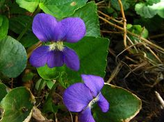 Purple violets nestled in a shaded.