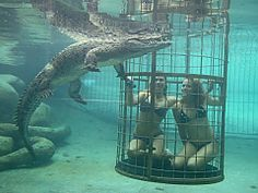 View our list of croc cage diving operators in South Africa - Dirty Boots Shark Cage, Adventure Holiday, Adventure Activities, Crocodiles, Once In A Lifetime, Africa Travel, Oh The Places You'll Go, Diving, Gain