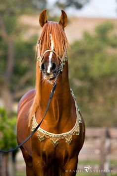 Desert Jewels by Arabian Fancy UPDATED 12/6 - Page 3 - Tack and Items For Sale - Arabian Horse Breeders Network - Page 3