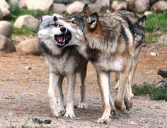 *meep*    (Maya, Aidan and Denali of the International Wolf Center)