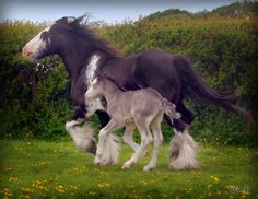 """Gypsy Horse mare and her 3-day-old colt, """"Survivor""""."""