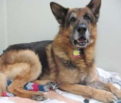 Richie is a strong, smart 10 year old German Shepherd who's looking for a great home where he can be your loyal, only dog!