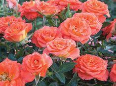 Mandarin Sunblaze®   Rosa 'Meidarin' PP#13291  Mandarin Sunblaze® has unusually large flowers for its miniature class. The strong bright orange color and vigorous habit make it a favorite Sunblaze® Rose.