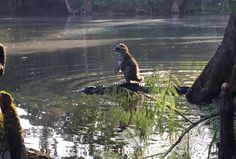 Raccoon riding a gator at the Ocala National Forest Photo: Richard Jones