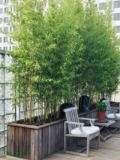 Bamboo garden-yard...backyard - screen I think this might be a great way to move shade around if you planted it in pots with casters by SAburns