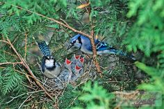 Blue Jays, at the nest with chicks. Medford, New Jersey