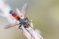 Stretched Tachinidae