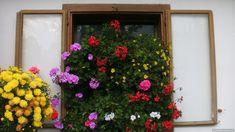 A szeptemberi növényápolás elsősorban lemondásokról, elbúcsúzásokról szól. Ahogy jön a hűvösebb idő, az egynyári virágok kezdenek hanyatlani. Némelyik mégegyszer utoljára beveti magát és ontja a virágokat, de a levelek sárgulása már jelzi a közelgő... The post Szeptemberi növényápolás az erkélyen appeared first on Balkonada.