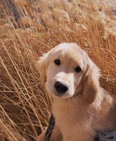 "Fantastic ""golden retriever pup"" detail is offered on our site. Read more and you wont be sorry you did. Puppies And Kitties, Cute Puppies, Cute Dogs, Doggies, Animals And Pets, Baby Animals, Cute Animals, Funny Animals, Animal Memes"