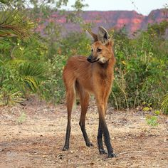The maned wolf is the largest of the South American canids. It looks like a larg… The maned wolf is the largest of the South American canids. It looks like a large fox with reddish fur and long, deer-like legs. Bizarre Animals, Unusual Animals, Rare Animals, Animals And Pets, Beautiful Creatures, Animals Beautiful, Beautiful Beautiful, Maned Wolf, Interesting Animals