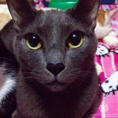 From @momomony: Simeon a cat with extra love  #twitterweek #catsofinstagram  #TwitterWeek: Follow us on Twitter for a chance to be featured this week! [source: http://ift.tt/1SRP3w4 ]
