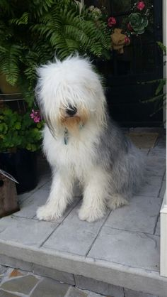 Finley our Old English Sheepdog is happy we are home!
