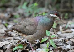 The Bridled Quail-Dove (Geotrygon mystacea) is a shy, secretive, and rare resident within a restricted range of Puerto Rico, the Virgin Islands, and some of the Lesser Antilles.