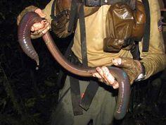 giant-worm-1a.jpg (500×375)