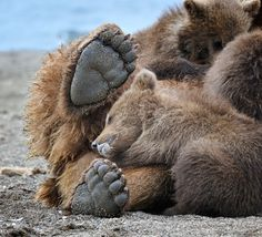 """Sweet Dreams.  """"This picture was taken in the wild near Kurile lake in the southern tip of Russian Kamchatka peninsula.""""  by Nikolai Zinoviev."""