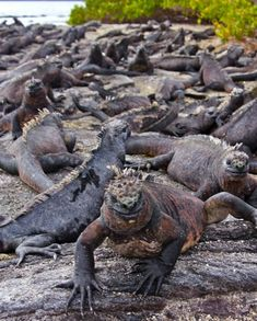 Marine Iguanas, Galapagos Islands #ecuador #travel