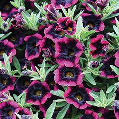 Shade loving plants on pinterest seed storage perennial - Calibrachoa perenne ...