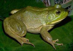 American Bullfrog - The Parody Wiki - Wikia