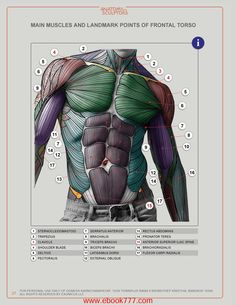 MAIN MUSCLES AND LANDMARK POINTS OF FRONTAL TORSO