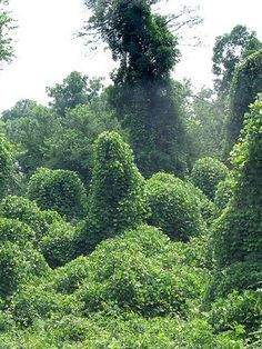 Kudzu is know to any Southerner (or transplanted Yankee)The plant is used in Chinese medicine for treating allergies, colds, fevers and as a digestive aid. Brew a kudzu tea by chopping up a cup of leaves and boiling them for about 30 minutes to treat what ails you.