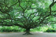 Le #hêtre #tortillard : un arbre étonnant Avec son tronc tortueux et ses branches sinueuses, le hêtre tortillard a une silhouette fantasmag...