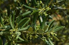 Flowers becoming olives
