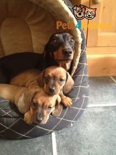 Mini Daschound Puppies with Mum....sooo cute!! Just having one Doxie is just not an option. Two, three....