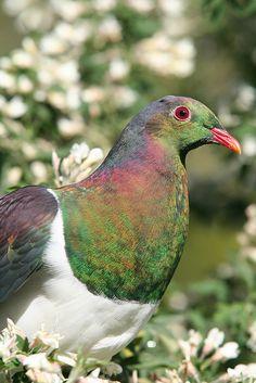 Kereru - NZ's native pigeon showing iridescent plumage by ZEALANDIA, Wellington, NZ, via Flickr