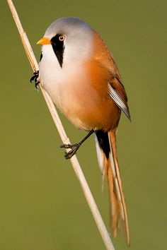 Bearded Reedling is a species of Europe and Asia. It is resident, and most birds do not migrate other than eruptive or cold weather movements