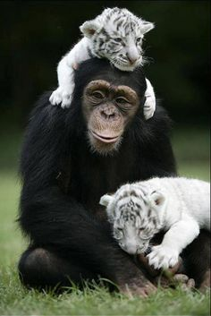 This young chimpanzee named Dodo is taking care of a group of motherless tiger cubs in a zoo in Thailand.