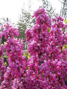 Judaszowiec chiński- Cercis chinensis
