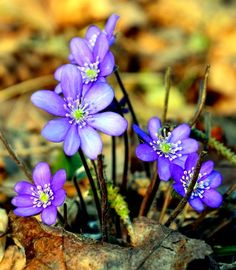 NAŠE ZAHRADY: Léčivé rostliny. Jarní modrá a pestrá krása na lis...