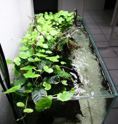 creeping vine emersed tank